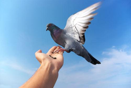 Если снятся голуби к чему это