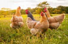 Приснилась курица — толкование сна