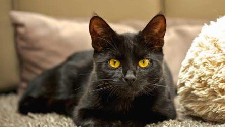 Видеть во сне черную кошку — что означает сон